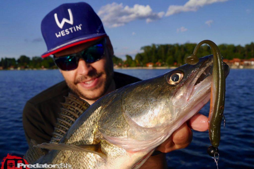Westin KickTeez auf Zander - Westinfishing Kick Teez