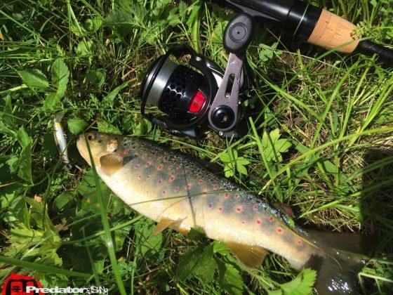 im kleinen Bach auf Forelle -Megabass Great Hunting
